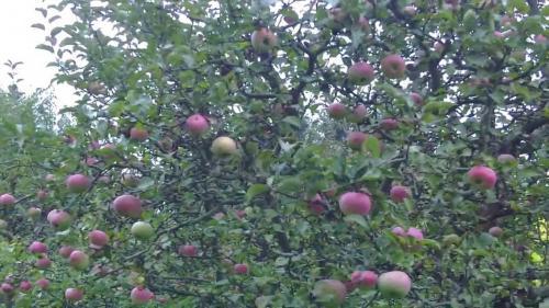 Как заставить яблоню плодоносить каждый год