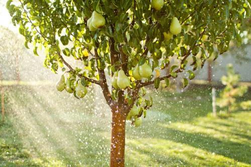 Когда начинает плодоносить груша. Секрет раннего плодоношения груши в закладки 58