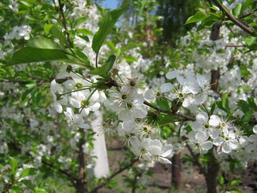 Когда начинают плодоносить яблони после посадки. На, какой год начинает плодоносить яблоня после посадки саженцев 07