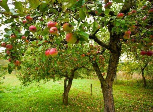 Когда начинают плодоносить яблони после посадки. На, какой год начинает плодоносить яблоня после посадки саженцев 01