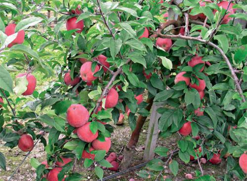 Яблоня на, какой год плодоносит. На, какой год плодоносит яблоня после посадки: сроки 03