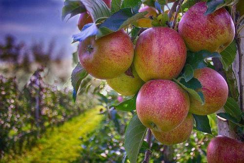 Яблоня на, какой год плодоносит. На, какой год плодоносит яблоня после посадки: сроки 07