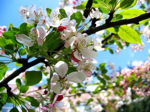 В каком месяце плодоносит яблоня. Когда цветет яблоня в каком месяце