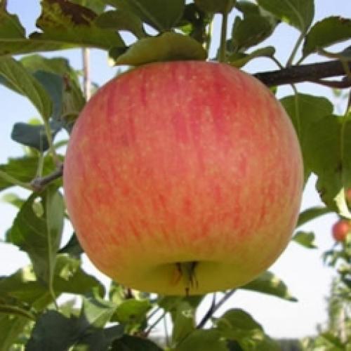 На какой год после посадки плодоносит яблоня. Через сколько плодоносит яблоня 09