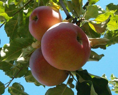 Знаменитый сорт яблок Апорт