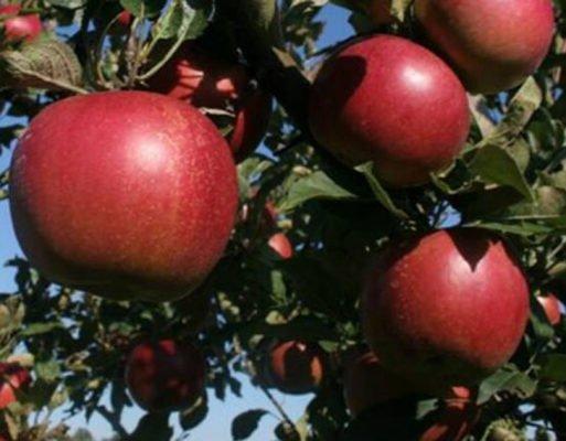 Яблоки Джонатан
