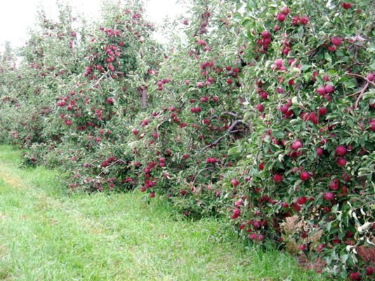Карликовые яблони в саду