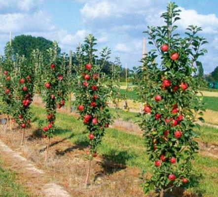 Колонновидные яблони