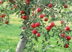 сколько раз плодоносит яблоня