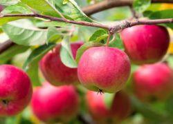 сколько раз в жизни плодоносит яблоня
